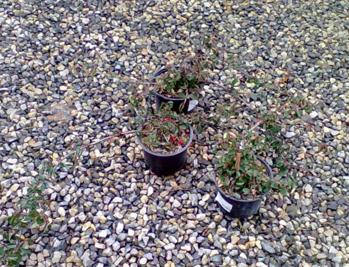 Cotoneaster procumbens queen of carpets skaln k - Cotoneaster procumbens queen of carpets ...