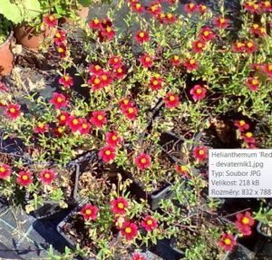 Helianthemum 'Red Orient' - devaterník